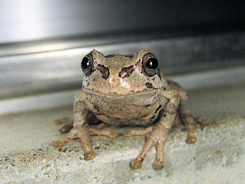 オビガと会話するカエル