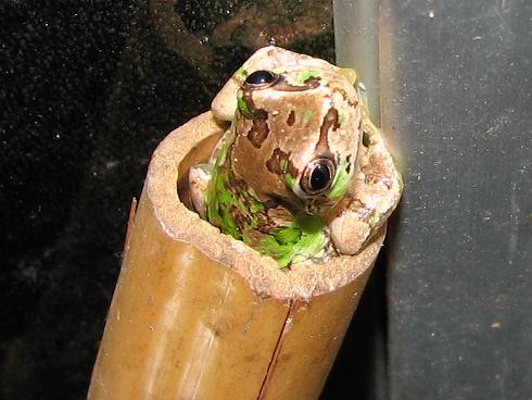 バーチャル風呂に入るカエル