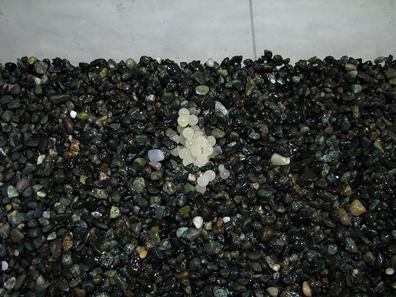 カタツムリの卵の採取方法