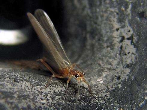 水生昆虫が羽化