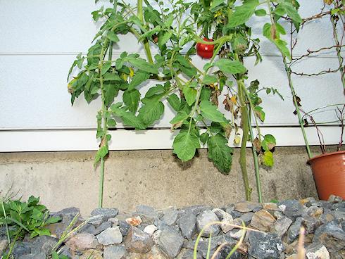 トマトの四度目の収穫+α
