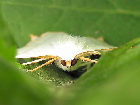 きれいな蛾、ツバメエダシャク