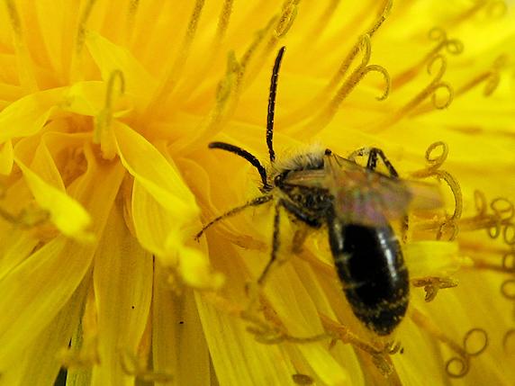 タンポポに集まる昆虫