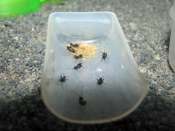 えさに群がるエンマコオロギの幼虫