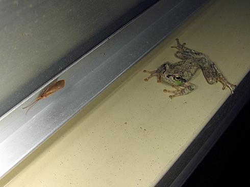 凝視するカエル