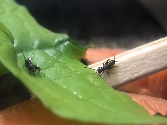 葉大根をかじるエンマコオロギの幼虫