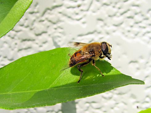 今年もクマバチが大忙し