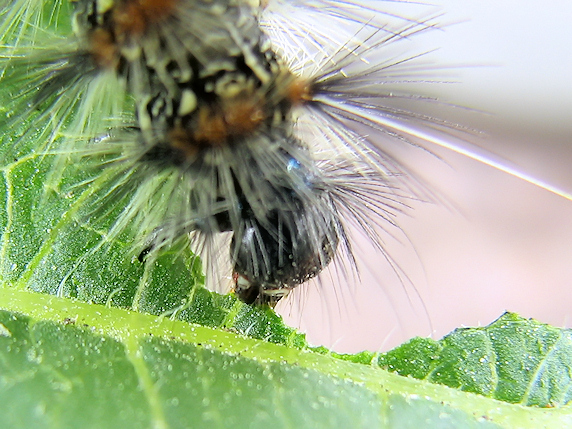 クワゴマダラヒトリの幼虫を確保