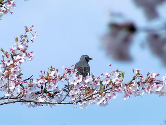 満開の桜にヒヨドリ現る