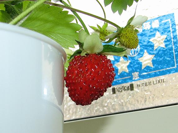 ワイルドストロベリー初収穫