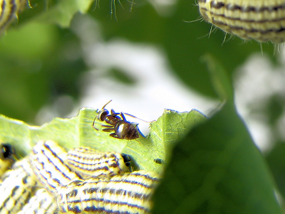 今年もミノウスバの幼虫