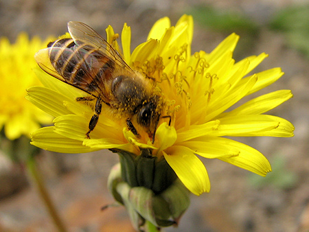 タンポポの蜜を吸うミツバチ