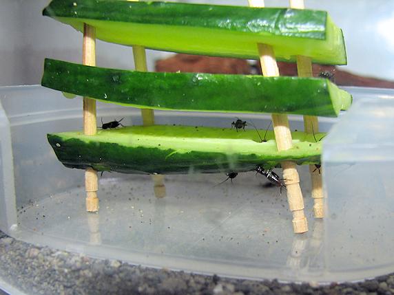 キュウリで脱皮するエンマコオロギの幼虫