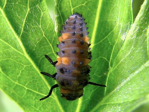 ナナホシテントウの幼虫