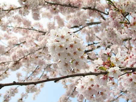 桜満開なり