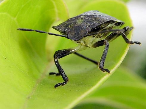 エゾアオカメムシの幼虫