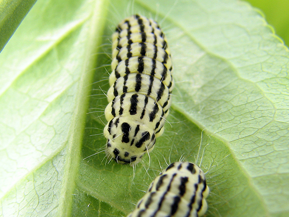 大移動近しのミノウスバの幼虫
