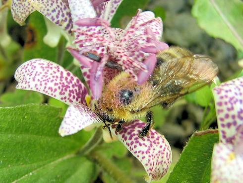 何かをくわえるクマバチ