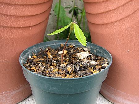 葉を広げるコナラの苗木
