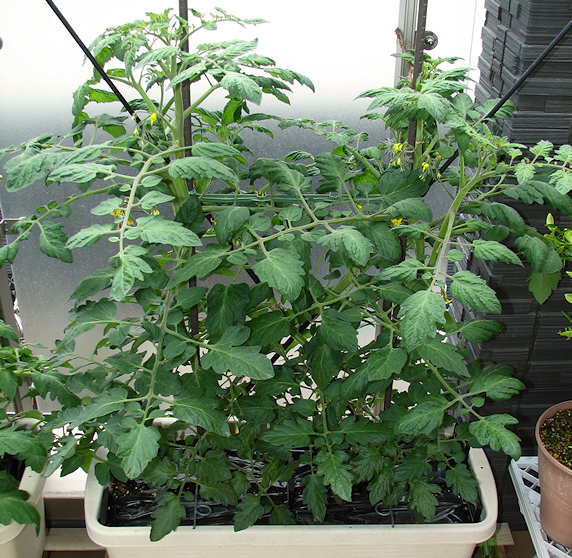 3種のミニトマトのベランダ菜園