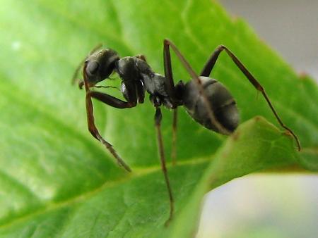 樹木の蜜に集まるアリ