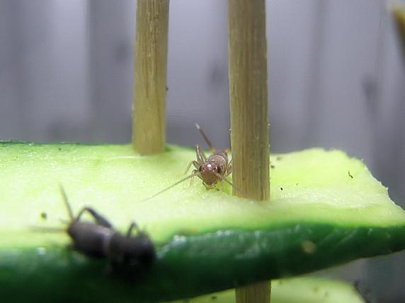脱皮直後のエンマコオロギの幼虫