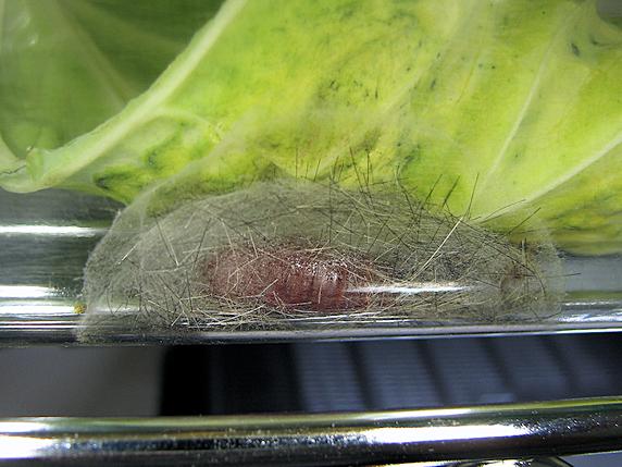 クワゴマダラヒトリの幼虫がサナギになりました