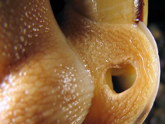 カタツムリの生殖口