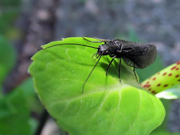 クロセンブリという昆虫