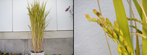 バケツ稲の落水