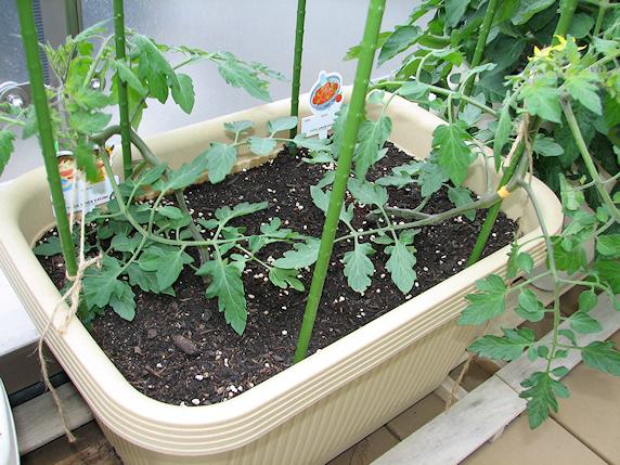 ベランダでトマトが荒ぶる午後