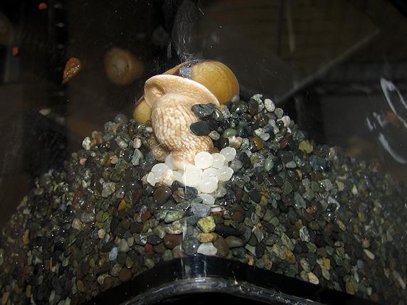 アオモリマイマイの産卵