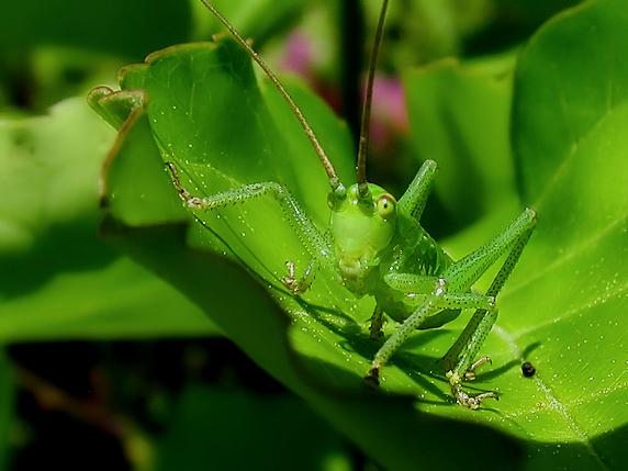 ヤブキリの幼虫参上