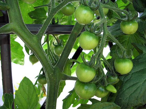 トマトの花咲き実が実る