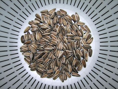 ヒマワリの種子採取
