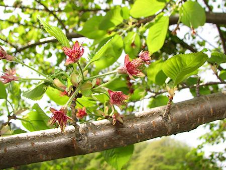 桜の季節の終焉