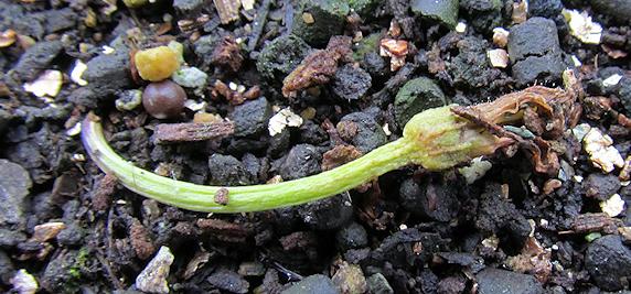 トウガラシ栽培のメモメモ