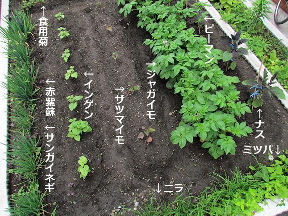 家のミニ畑でジャガイモ開花