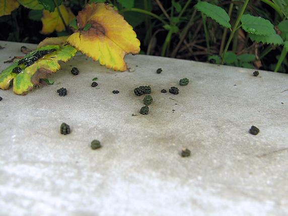 マイマイガの終齢幼虫発見