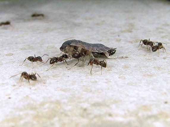 ワラジムシの亡骸を運ぶアリ
