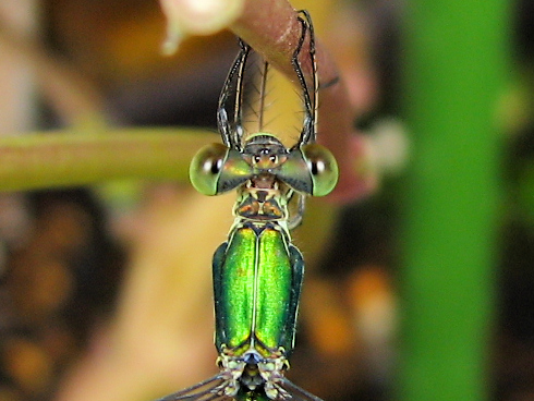 緑の光沢アオイトトンボ