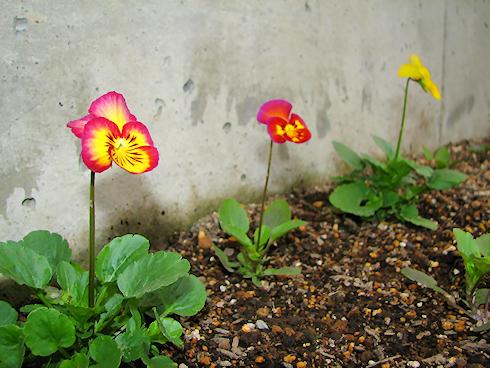 徐々に花咲く虹色スミレ
