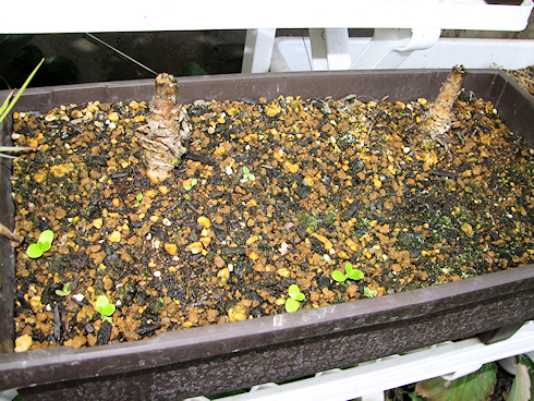 第二弾のサラダ菜の収穫
