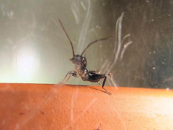 エンマコオロギの幼虫満員御礼