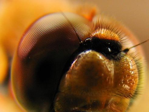 アキアカネの複眼の接写