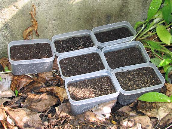 エンマコオロギの産卵床を撤去