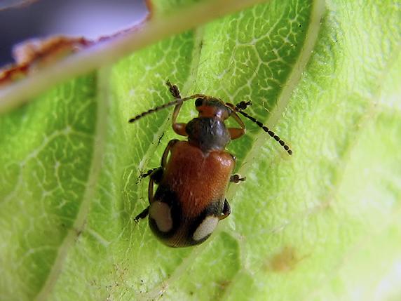 ワモンナガハムシの幼虫か?