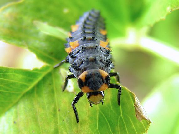 ナナホシテントウの終齢幼虫
