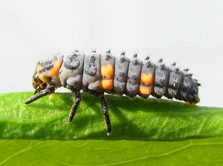 写真館-テントウムシの幼虫