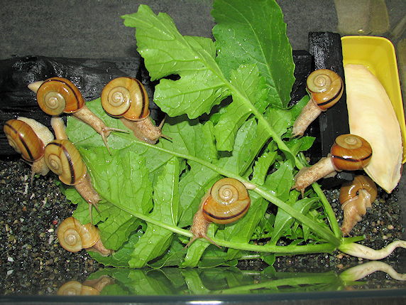 葉大根を食べるカタツムリ